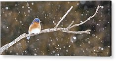 Snowy Bluebird Acrylic Print