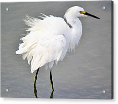 Snowy Egret All Fluffed Up Acrylic Print by Paulette Thomas