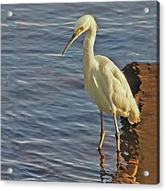 Snowy Egret At Sunrise Acrylic Print by Sandra Anderson