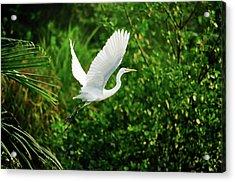 Snowy Egret Bird Acrylic Print