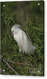 Snowy Egret In Breeding Plumage Acrylic Print