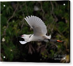 Acrylic Print featuring the photograph Snowy Egret In Flight by Art Whitton