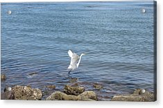 Acrylic Print featuring the photograph Snowy Egret by Marilyn Wilson