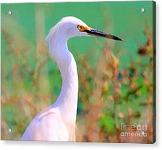 Snowy Egret . Painterly Acrylic Print by Wingsdomain Art and Photography