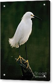 Acrylic Print featuring the photograph Snowy Egret Portrait by Doug Herr