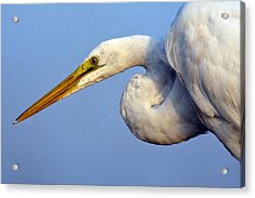 Acrylic Print featuring the photograph Snowy Egret Ready by Darleen Stry