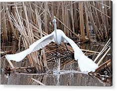 Acrylic Print featuring the photograph Snowy Egret Takeoff by Mark J Seefeldt