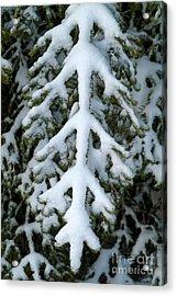 Snowy Fir Tree Acrylic Print by Sami Sarkis