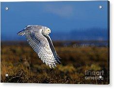Snowy Owl 1b Acrylic Print by Sharon Talson