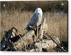 Snowy Owl At Boundary Bay B.c Acrylic Print by Pierre Leclerc Photography