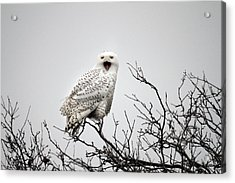 Snowy Owl In A Tree Acrylic Print by Pierre Leclerc Photography