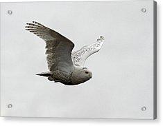 Snowy Owl In Flight Acrylic Print by Pierre Leclerc Photography