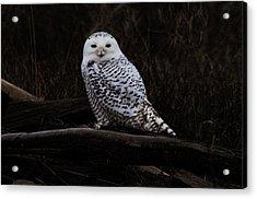 Snowy Owl Two Acrylic Print