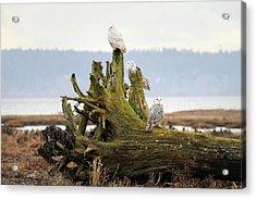 Snowy Owls Acrylic Print by Pierre Leclerc Photography