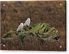 Acrylic Print featuring the photograph Snowy Owls by Scott Holmes