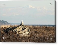 Snowy Owls With Mount Baker Acrylic Print by Pierre Leclerc Photography