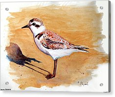 Acrylic Print featuring the painting Snowy Plover by Chriss Pagani