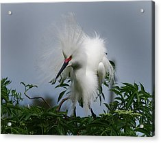 Snowy Stand Off Acrylic Print by Skip Willits