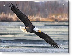 Soaring Bald Eagle Acrylic Print by Carrie OBrien Sibley