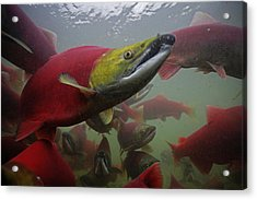 Sockeye Salmon Find Their Way Acrylic Print by Michael Melford