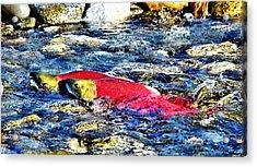 Sockeye Salmon Spawning Acrylic Print by Don Mann