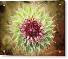 Soft As A Thistle Acrylic Print by Amy Tyler