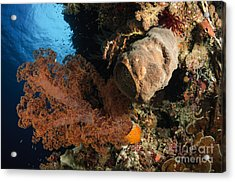 Soft Coral Seascape, Indonesia Acrylic Print by Todd Winner