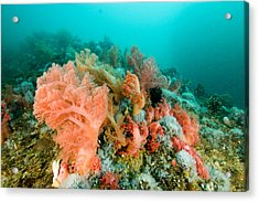 Soft Corals Of Many Hues Cover A Reef Acrylic Print by Tim Laman