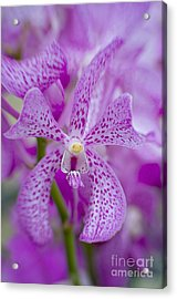Soft On Orchids Acrylic Print by Jacky Parker