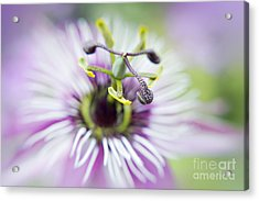 Soft Passion Acrylic Print