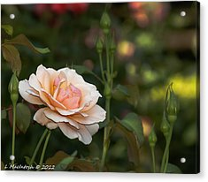 Soft Peach Acrylic Print by Lauren MacIntosh