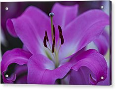 Soft Purple Acrylic Print
