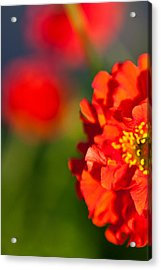 Soft Red Flower Acrylic Print