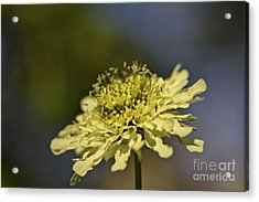 Acrylic Print featuring the photograph Soft Yellow. by Clare Bambers