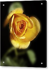 Soft Yellow Rose On Black Acrylic Print by M K  Miller