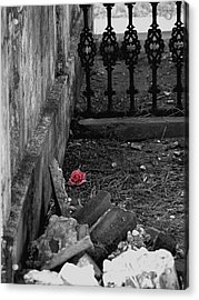 Solitary Rose Acrylic Print by Renee Barnes