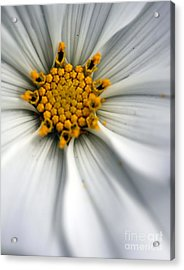 Acrylic Print featuring the photograph Sonata Cosmos White by Henrik Lehnerer