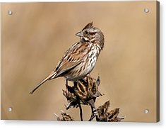 Song Sparrow Acrylic Print by Rich Leighton