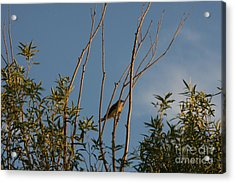 Acrylic Print featuring the photograph Songbird by Marta Alfred