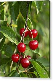 Sour Cherries, Beamsville, Niagara Region, Ontario, Canada Acrylic Print by Michael Mahovlich