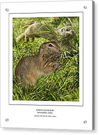 Sousliks Collecting Bedding Acrylic Print by Owen Bell