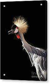 South African Grey Crowned Crane Kaanapali Maui Hawaii Acrylic Print by Sharon Mau