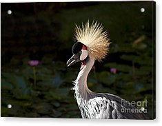 South African Grey Crowned Crane Acrylic Print by Sharon Mau