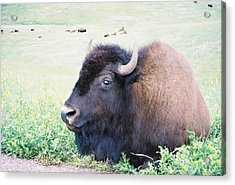 South Dakota Bison Acrylic Print