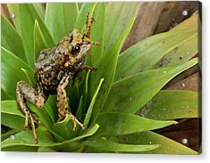 Southern Frog Pristimantis Sp, Newly Acrylic Print by Pete Oxford