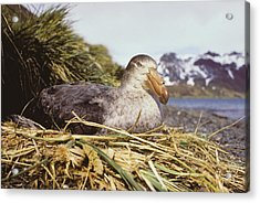 Southern Giant Petrel Acrylic Print by Peter Scoones