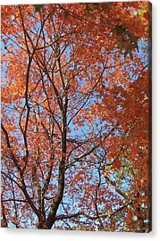 Southern Illinois Maple Acrylic Print by Paul Louis Mosley