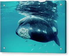 Southern Right Whale Eubalaena Acrylic Print by Mike Parry