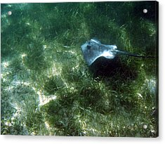Southern Stingray Browsing About Acrylic Print