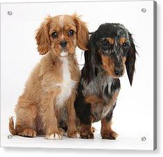 Spaniel & Dachshund Puppies Acrylic Print by Mark Taylor